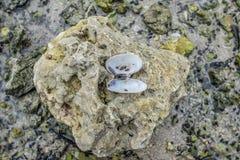 Abra moluscos de Coquina Foto de Stock