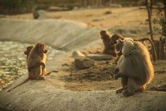 Abra o babuíno da boca e macacos novos no jardim zoológico imagem de stock