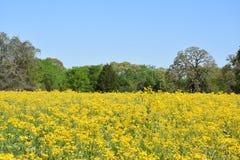 Abra o campo de flores amarelas fotografia de stock royalty free