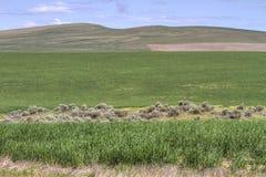 Abra o campo selvagem com trigo da grama verde da exploração agrícola imagens de stock