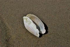 Abra o shell branco Imagem de Stock Royalty Free