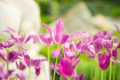 Abra tulipas roxas Fotos de Stock