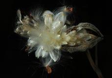 Abra a vagem do milkweed contra o preto Imagem de Stock Royalty Free