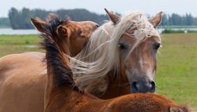 Abraçando a égua e o seu potro Imagens de Stock Royalty Free