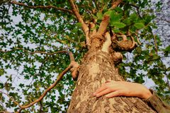Abrace uma árvore grande, simbolizando a conexão entre seres humanos e natureza imagens de stock royalty free