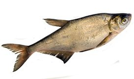 abramis新鲜ballerus的鱼 免版税库存照片
