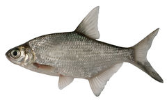 Abramis brama. Bream Royalty Free Stock Image