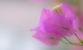 Abrandamento cor-de-rosa Imagens de Stock Royalty Free
