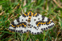 Abraxas grossulariata butterfly in the grass Royalty Free Stock Images