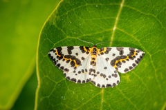 Abraxas Grossulariata Butterfly On A Large Leaf Royalty Free Stock Photo