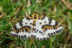 Abraxas grossulariatafjäril i gräset Royaltyfria Bilder