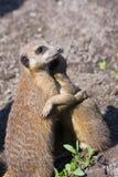 Abrazando los meerkats (suricatta del Suricata) Fotografía de archivo libre de regalías
