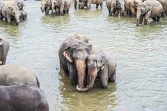 Abrazo de elefantes en el río Imagen de archivo