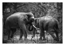 Abrazo de los elefantes Foto de archivo