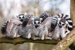 Abrazo de los Lemurs Fotos de archivo libres de regalías