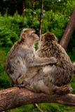 Abrazo de los Macaques de Barbary Foto de archivo