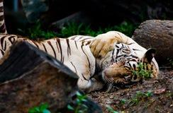 Abrazo de los tigres Foto de archivo libre de regalías