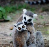 Abrazo de meerkats Foto de archivo libre de regalías