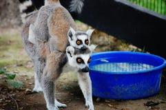 Abrazo de meerkats Fotografía de archivo