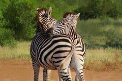 Abrazo de pares de cebras en el parque nacional de Kruger Otoño en Suráfrica Foto de archivo libre de regalías