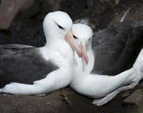 Abrazo del albatros Imagenes de archivo