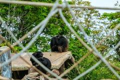 Abrazo del mono de dos chimpancés en red del behide del tejado en parque zoológico Imagenes de archivo