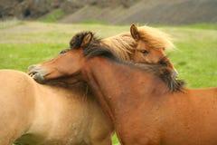 Abrazo islandés de los caballos Foto de archivo
