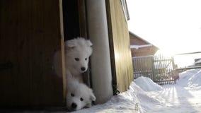 Abrió las puertas de los perritos del samoyedo de la casa almacen de metraje de vídeo