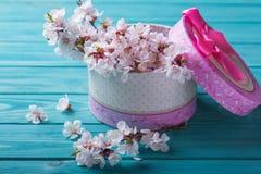 Abricó da caixa da flor da flor da mola no fundo de madeira azul Imagens de Stock Royalty Free