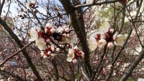 Abricó de florescência da mola, Kiev vídeos de arquivo