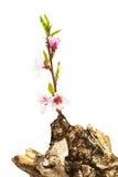 Abricó do ramo e coto velho Imagem de Stock Royalty Free