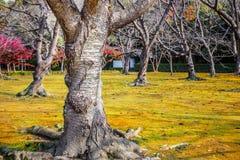 Abricó japonês no jardim Koraku-en Fotografia de Stock