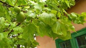 Abricó verde tree_2 Fotos de Stock Royalty Free