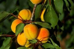 Abricós doces maduros brilhantes vitaminas solares ilustração stock