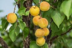 Abricós maduros muito grandes em um ramo de árvore no jardim Amadurecendo abricós no ramo de árvore durante horas de verão, desen foto de stock royalty free