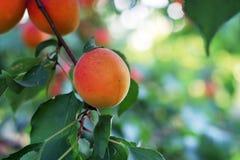 Abricós maduros na árvore Imagens de Stock