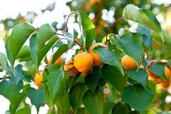 Abricós maduros que crescem na árvore de abricó Foto de Stock