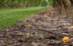 Abricós na terra em um pomar em Cromwell em Nova Zelândia foto de stock royalty free
