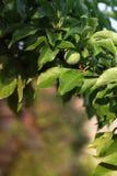 Abricós verdes verdes em uma árvore Fotografia de Stock Royalty Free