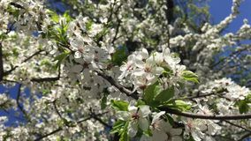 Abricot树在庭院里 影视素材