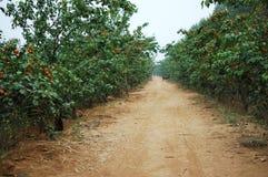 Abricot 11 Photographie stock libre de droits