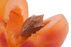 Abricot avec la pierre Images stock