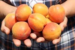 Abricot dans des mains femelles Photographie stock libre de droits