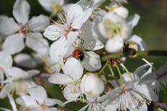 Abricot de floraison Photographie stock