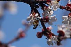 Abricot et abeille de floraison de brindille photos stock