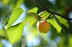 Abricot frais Photos libres de droits