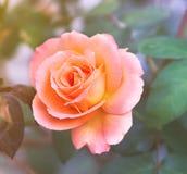 Abricot Rose rose sur le fond mou images libres de droits