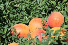Abricot sur l'herbe verte Photo libre de droits