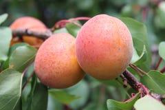 Abricot sur la branche d'arbre Photo stock