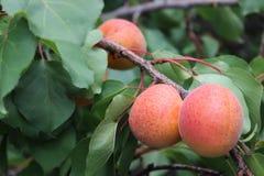 Abricot sur la branche d'arbre Photos libres de droits